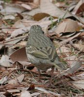Olive-backed Pipit - Anthus hodgsoni