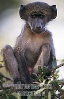 Chacma Baboon , Papio ursinus stock photo