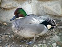 Falcated Teal (Anas         falcata)
