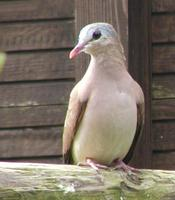 Blue Spotted Wood Dove Turtur afer