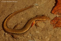 : Eurycea bislineata; Two-lined Salamander
