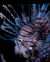 : Pterois volitans; Red Firefish