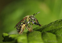 : Augochlorella sp.; Sweat Bee