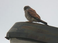 Falco tinnunculus Common Kestrel チョウゲンボウ