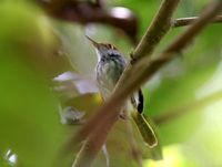 ノドグロサイホウチョウ Black-tailed Tailorbird Orthotomus atrogularis