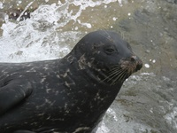 Phoca vitulina photographed in San Diego in August of 2004 using a Canon 10D digital camera and ...