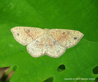 Cyclophora porata - False Mocha