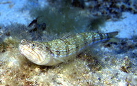 Synodus saurus, Atlantic lizardfish: fisheries, gamefish