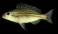 Scaevius milii, Green-striped coral bream: fisheries