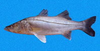 Centropomus nigrescens, Black snook: fisheries, gamefish