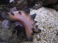Protoreaster nodosus - Horned Sea Star