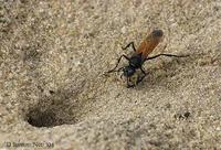 Image of: Sphecinae