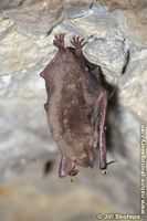 Myotis myotis - Greater Mouse-eared Bat