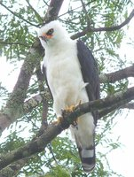 Black-and-white Hawk-Eagle - Spizastur melanoleucus