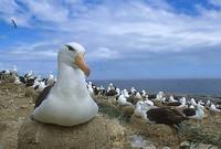Black-browed Albatross (Thalassarche melanophris melanophris) photo