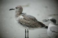 Laughing Gull - Larus atricilla