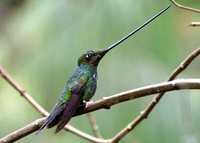 Sword-billed Hummingbird - Ensifera ensifera