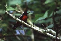 Black-and-red Broadbill - Cymbirhynchus macrorhynchos