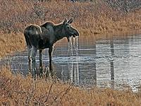 Interesting mammals, such as this Moose, can be seen on several of the tours (Pete Morris)