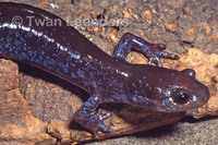 : Ambystoma jeffersonianum; Jefferson Salamander