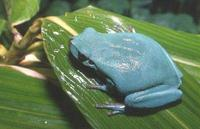 : Hyla meridionalis; Southern Common Tree Frog
