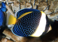 Chaetodontoplus duboulayi, Scribbled angelfish: aquarium