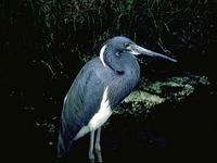 Image of: Egretta tricolor (tricolored heron;Louisiana heron)