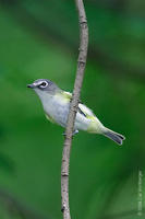 Image of: Vireo solitarius (blue-headed vireo)