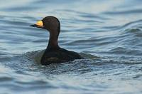 Black Scoter (Melanitta nigra) photo