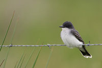 Eastern Kingbird (Tyrannus tyrannus) photo