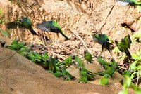 Dusky-headed Parakeet - Aratinga weddellii