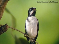 Lined Seedeater - Sporophila lineola