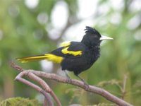 Yellow-winged Cacique - Cacicus melanicterus