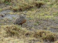 Yellow-throated Sandgrouse (Gulstrupig flyghöna) - Pterocles gutturalis