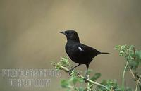 Sooty chat , Myrmecocichla nigra , Maasai Mara National Reserve , Kenya stock photo