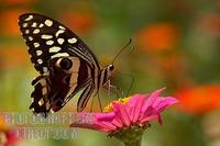 citrus swallowtail amongst flowers stock photo