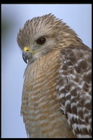 : Buteo lineatus; Red-shouldered Hawk
