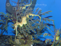 : Phycodurus eques; Leafy Sea Dragon