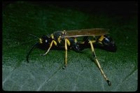 : Sceliphron caementarium; Yellow And Black Mud Dauber