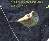 섬촉새 Black-faced Bunting in Had...
