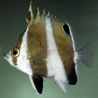Chaetodon excelsa, Hawaiian gold-barred butterflyfish: aquarium