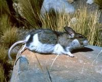 Image of: Chinchillula sahamae (altiplano chinchilla mouse)