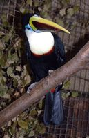 Ramphastos tucanus - Red-billed Toucan