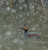 Image of: Podiceps nigricollis (black-necked grebe;eared grebe)