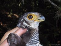 Barred Forest-Falcon - Micrastur ruficollis
