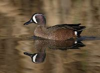 Blue-winged Teal (Anas discors) photo