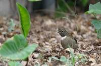 White-throated Robin (Turdus assimilis) photo