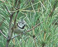 Crested Tit (Parus cristatus) photo