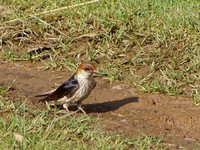 Greater Striped-Swallow - Cecropis cucullata
