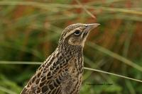 Long-tailed Meadowlark: juvenile
